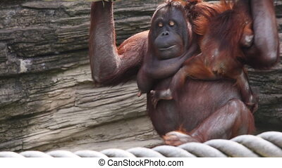 mother orangutan sit and clinging to rope with child, then they go, another ape climbs
