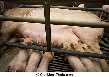 Mother pig locked in a cage with her piglets on a breeding farm