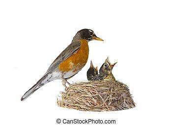 Mother Robin Feeding - Female American robin feeding her...
