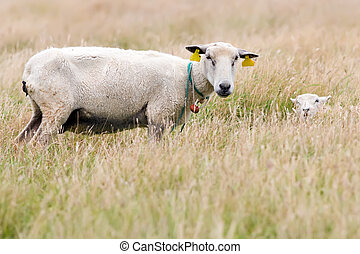 mother sheep and cute lamb
