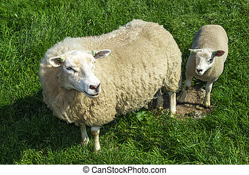 Mother sheep and her lamb in green grass field
