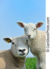 Mother sheep and her lamb in spring, Friesland The ...