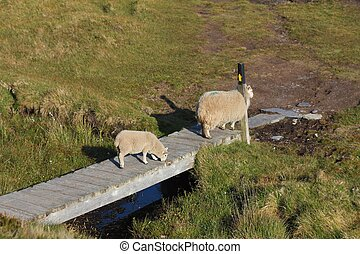 Mother sheep scratching her back on a post