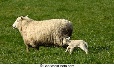 Mother sheep walks on green grass with her lamb