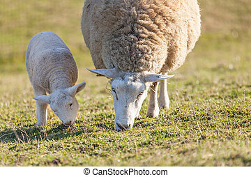 Mother sheep with her lamb