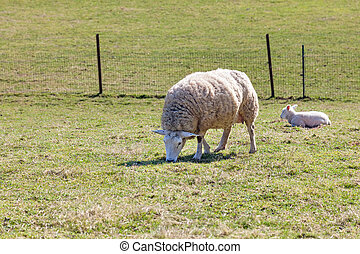 Mother sheep with her lamb on a field