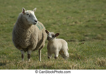Mother sheep with spring lamb