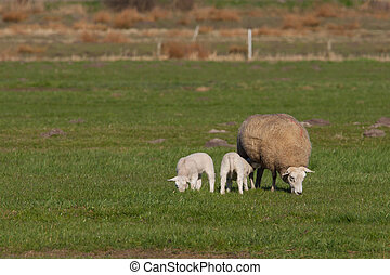 Mother sheep with two lambs in a meadow