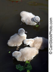 Mother swan with cygnets