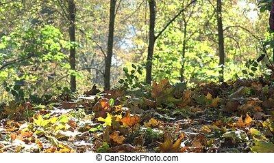 Mother teach baby child walk in beautiful autumn forest. 4K