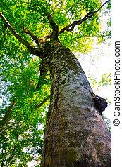 Mother Tree, The symbol of Shirakami Sanchi World Heritage, Japan.