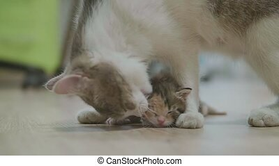 mother tricolor cat hugging lifestyle little kitten takes...