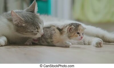 mother tricolor cat hugging little kitten lifestyle takes...