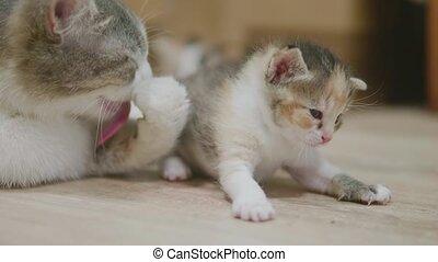 mother tricolor cat hugging slow motion video little kitten...
