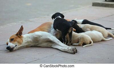 Motherhood. - Female dog feeding her cubs.