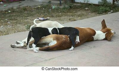 Motherhood. - Female dog breastfeeding her cubs.