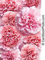 Mothers day concept of pink carnation flowers background