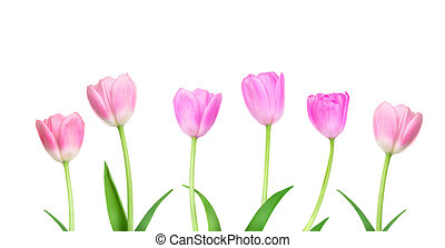 mother?s, tulipes, frontière, rose, isolé, fleurs blanches, paques, heureux, jour, concept, arrière-plan.
