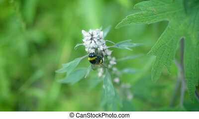 Motherwort flower with a bumblebee on it - Flowering...