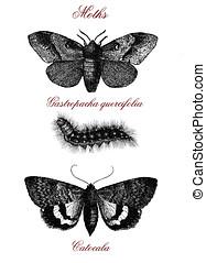 Moths, vintage illustrated table
