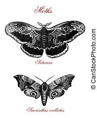Moths, vintage illustration