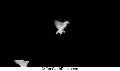 motie, transparant, achtergrond, vertragen, duif, vliegen, vrede, witte