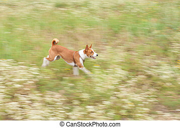 Motion picture of basenji dog galloping in autumnal wild grass