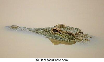 Motionless Nile Crocodile Head in Muddy Water