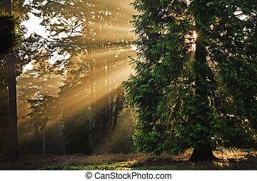 motivational, solstrålar, genom, träd, in, höst, falla, skog, hos, soluppgång
