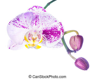 motley lilac orchid isolated with bud, on a white background