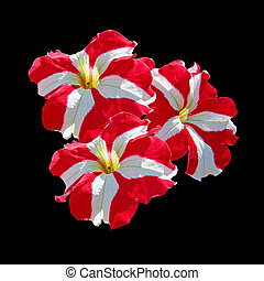 Motley petunia flower isolated on a black background