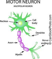 motor, isolerat, neuron., infographics., vektor,...