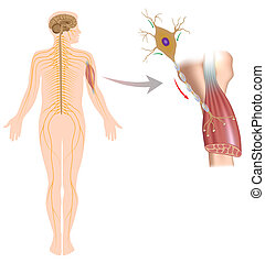 Motor neuron controls muscle, eps10 - Diagram showing...