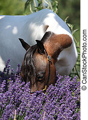 Mottle american miniature horse sniffing to purple flowers