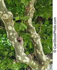 mottled bark on sycamore tree trunk