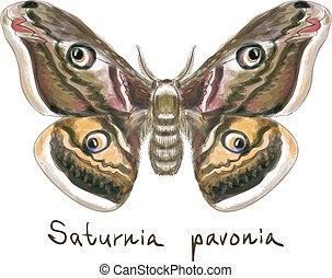 motyl, akwarela, saturnia, imitation., pavonia.
