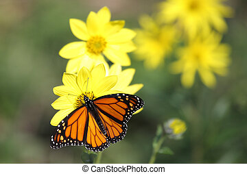 motyl, lesisty teren, słoneczniki, monarcha, (danaus, plexippus)
