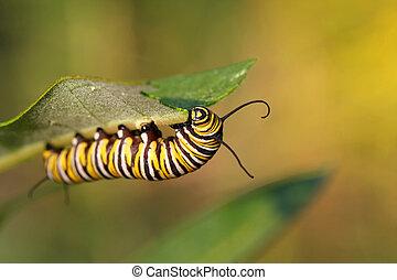 motyl, monarcha, gąsienica