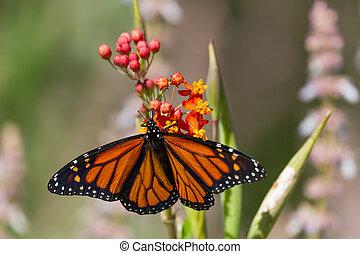 motyl, monarcha, kwiat