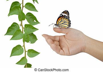 motyl, na, palec, z, roślina, na białym, tło