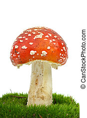 mouche agarique, muscaria), mousse, (amanita, growning