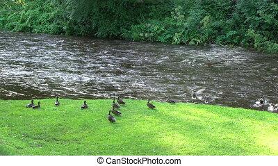 mouche, femme, loin, prise vue., deux, canards, river., statique, effrayé, chiens