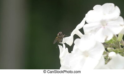 mouche, fleur blanche, bord