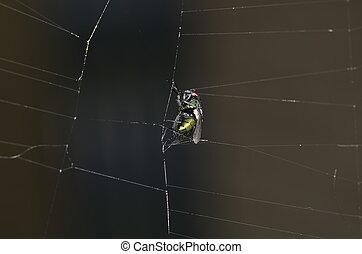 mouche, toile, araignés
