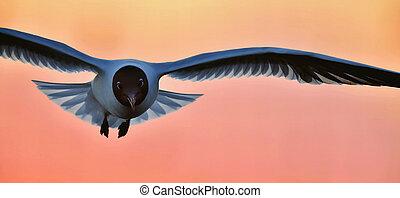 mouette noir-dirigée, ridibundus), coucher soleil, fond, (larus