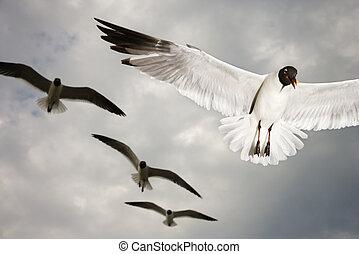 mouettes, flight.