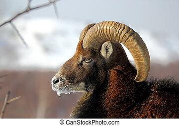 mouflon male in winter
