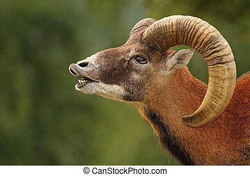 mouflon mating ritual - big mouflon ram ( Ovis orientalis )...