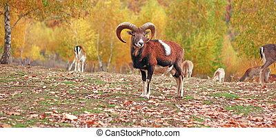 mouflon ram in autumn setting at an animal park
