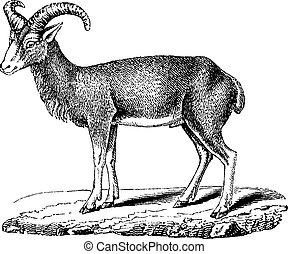 Mouflon, vintage engraving.